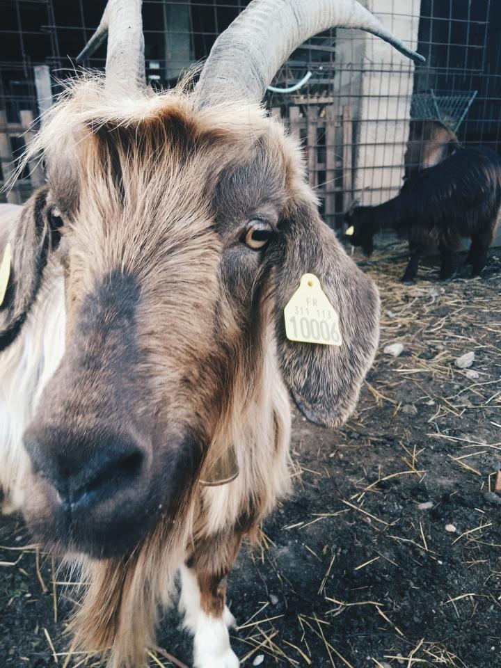 La chèvre desPyrénées